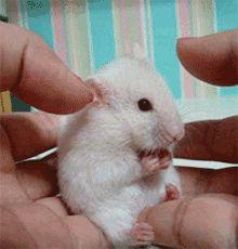 белая мышь gif