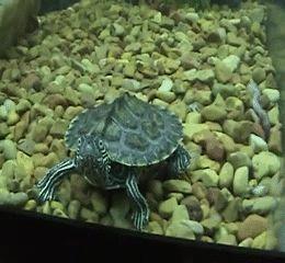 черепаха gif
