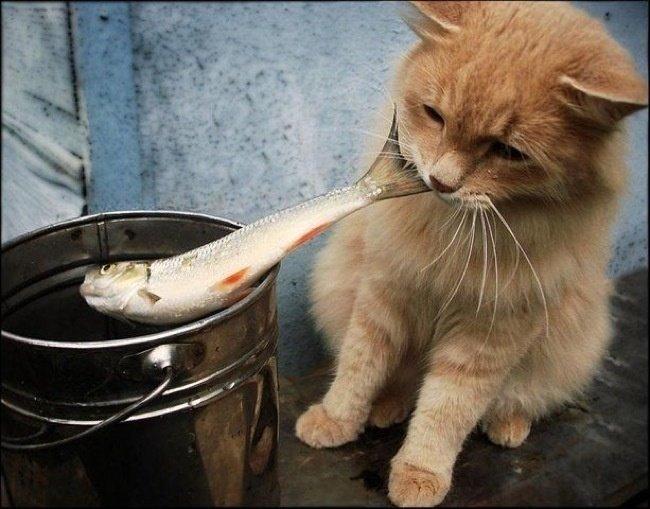 рыжий кот и рыба