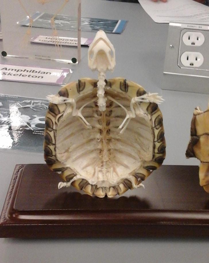 Черепаший скелет изнутри