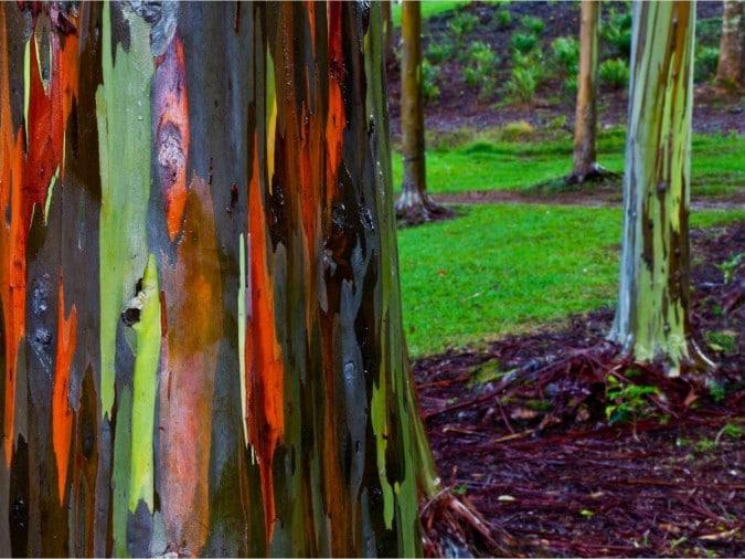деревья эвкалипта в Кауаи