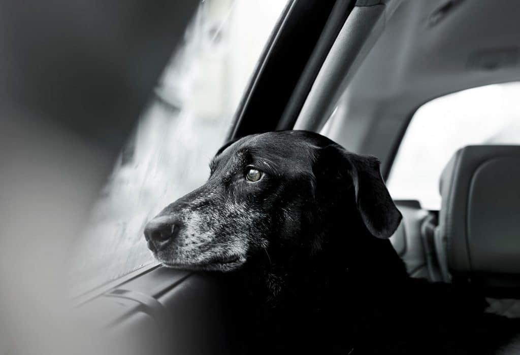 фото собаки в авто