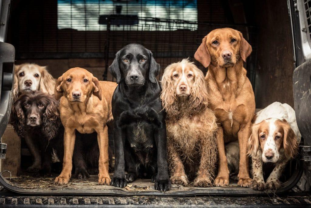 фото стаи собак
