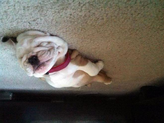 собака спит на полу