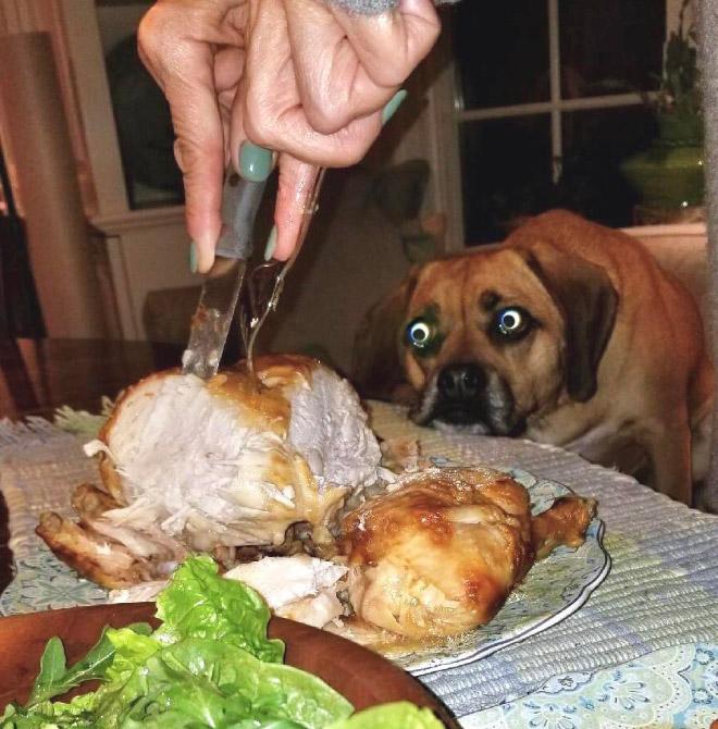 пес смотрит, как хозяин разрезает курицу