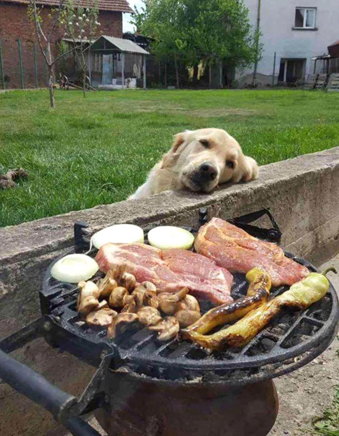 пес грустно смотрит на еду