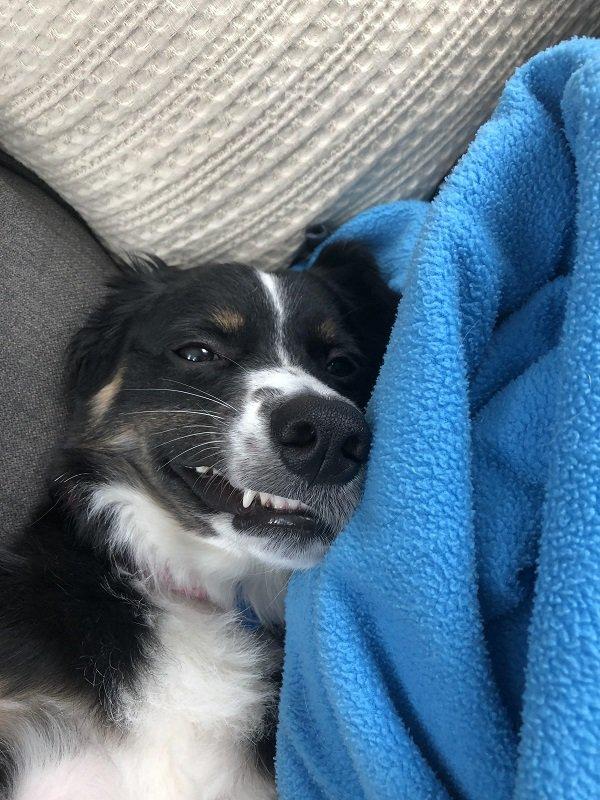 собака и плед