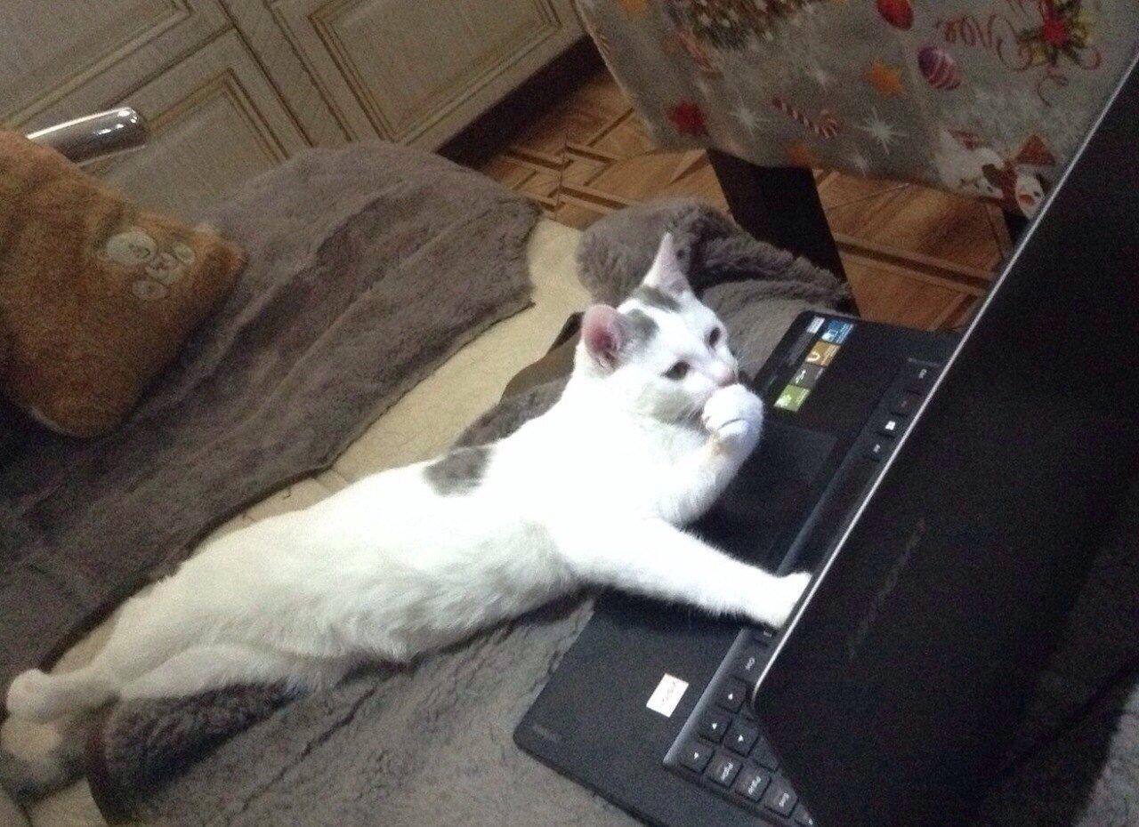 белый кот лежит перед ноутбуком