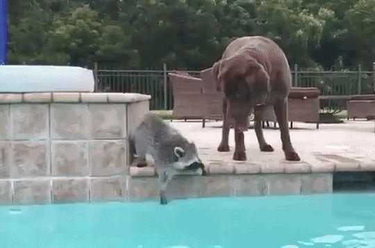 енот и собака в бассейне