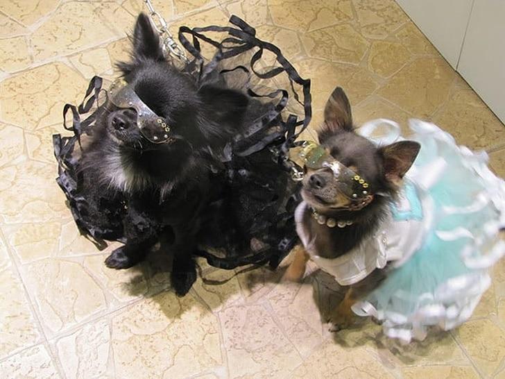 собаки в платьях и очках