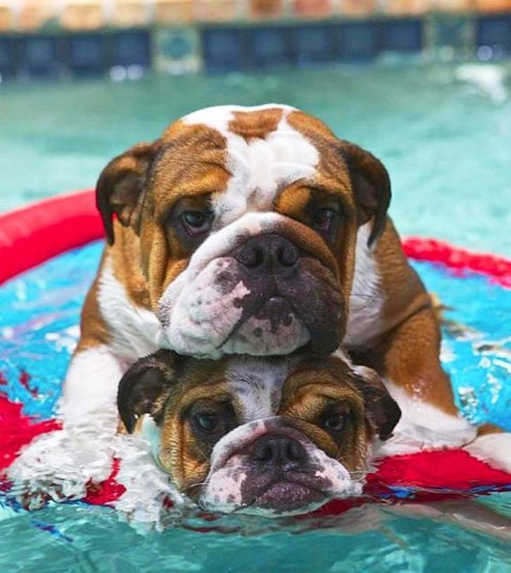 бульдоги в воде
