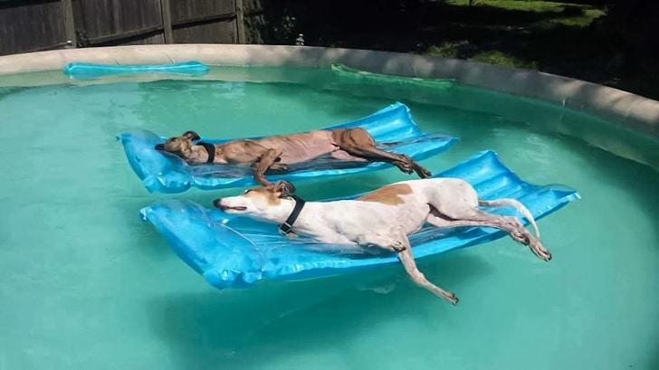 собаки в бассейне на надувных матрасах