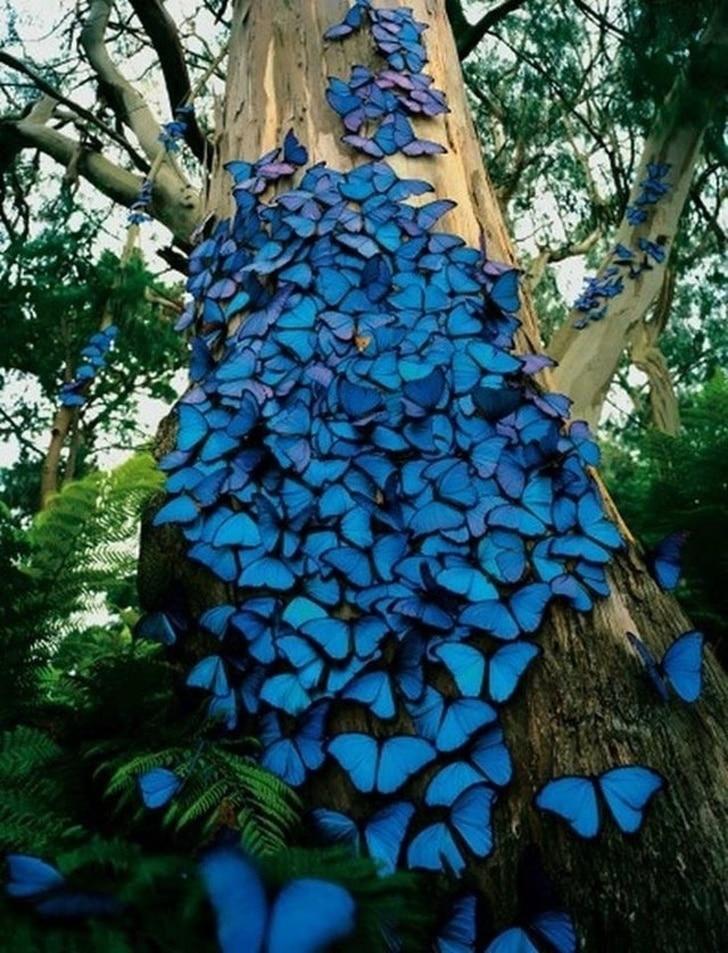 бабочки Морфо