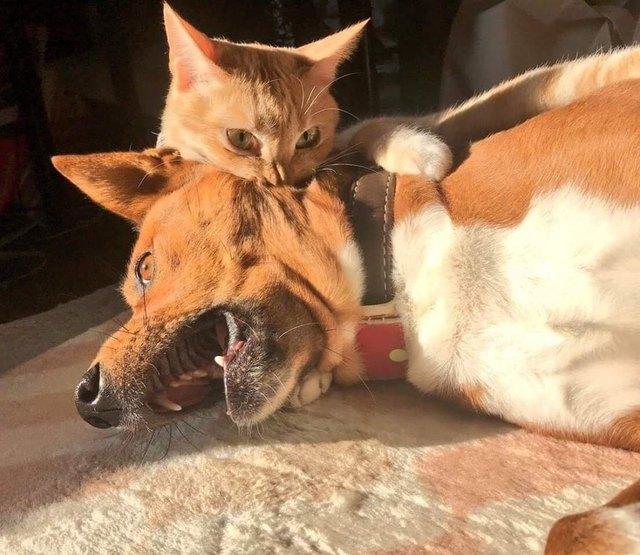 кот кусает за шею собаку