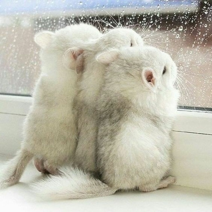 белые шиншилы смотрят в окно