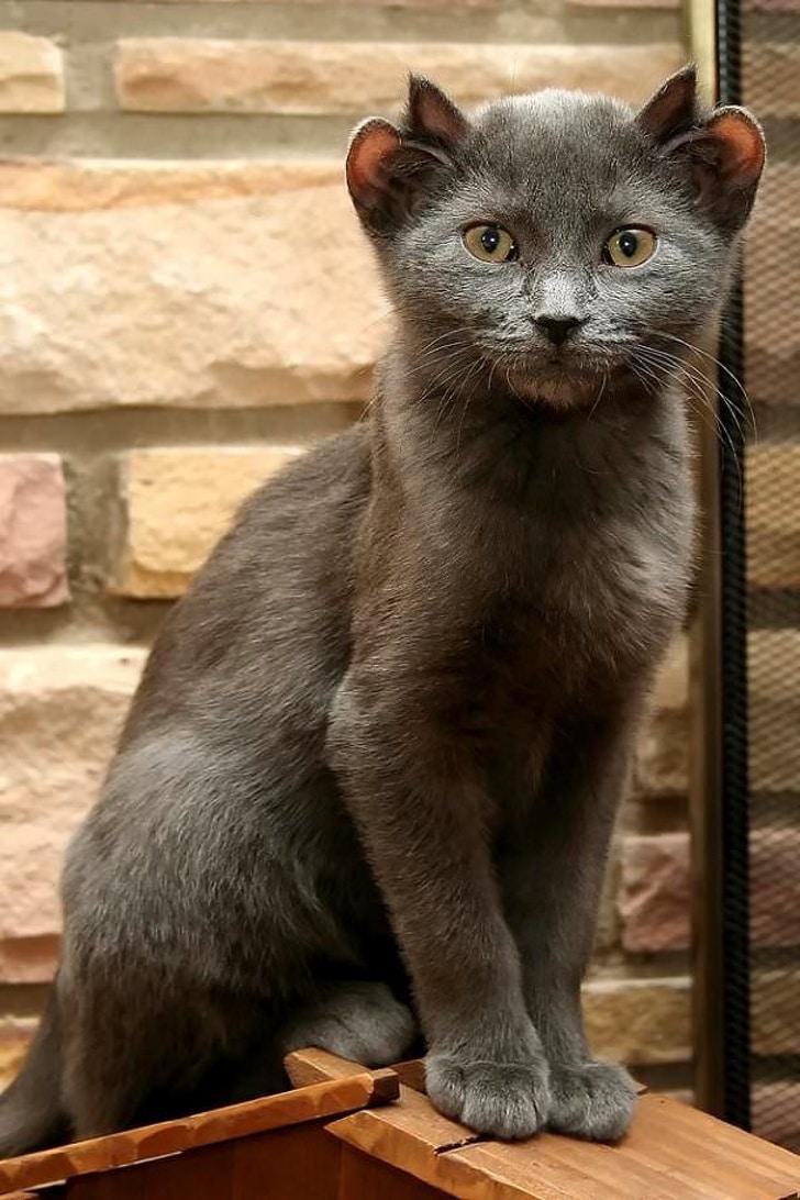 серый кот с четырьмя ушами