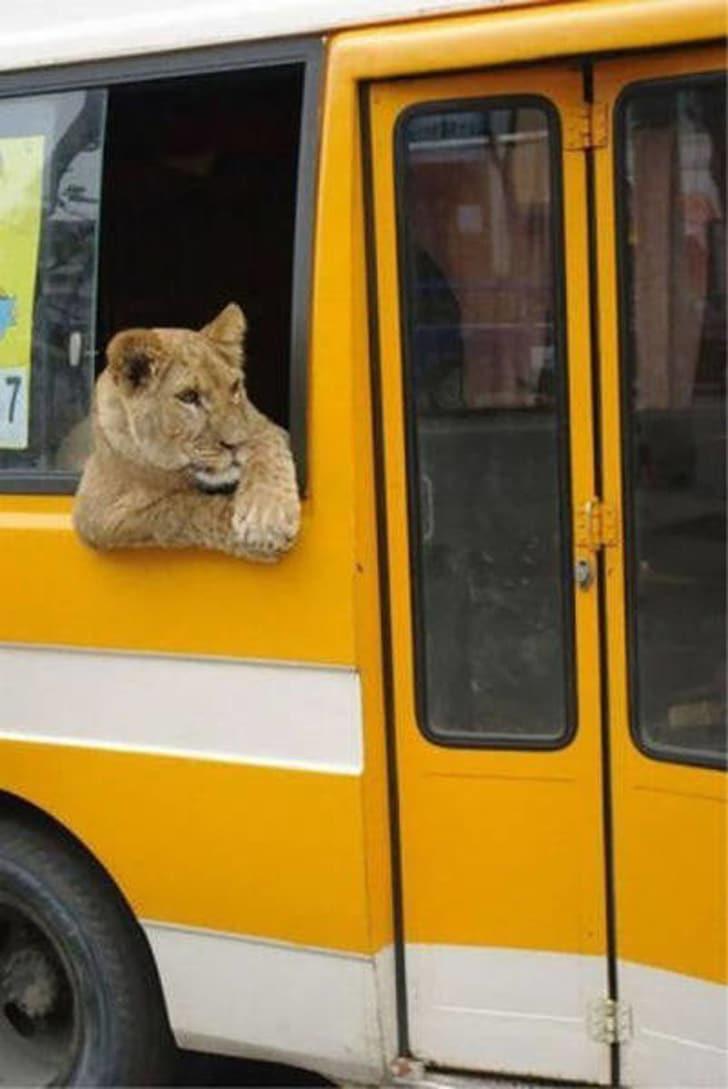 лев в автобусе