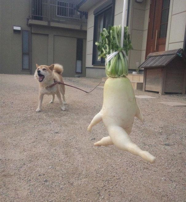 редька убегает от собаки