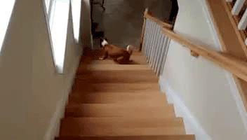 пес поднимается по лестнице задом