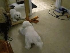 пес играется с зеркалом