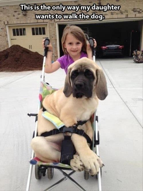 девочка везет в коляске собаку