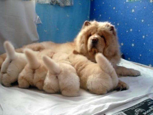 чау-чау со щенками