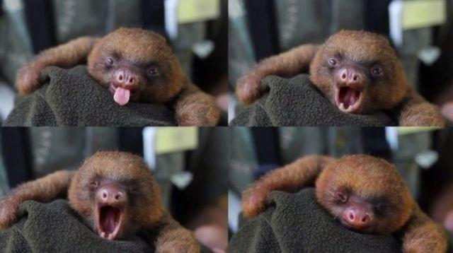 зевающий ленивец