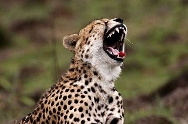 зевающий гепард