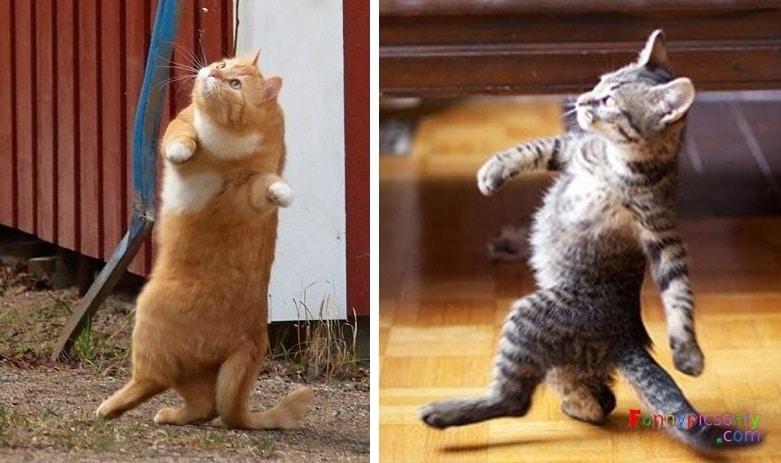 коты ходят на задних лапах