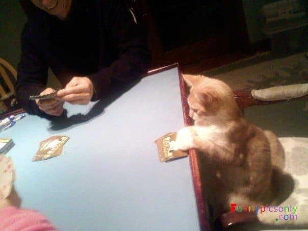 кот играет в карты