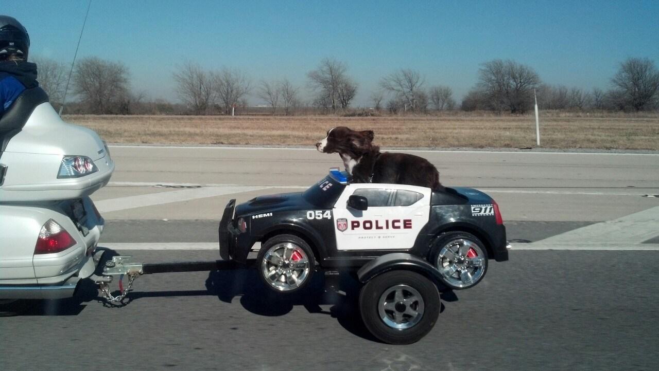 собака в полицейской машине