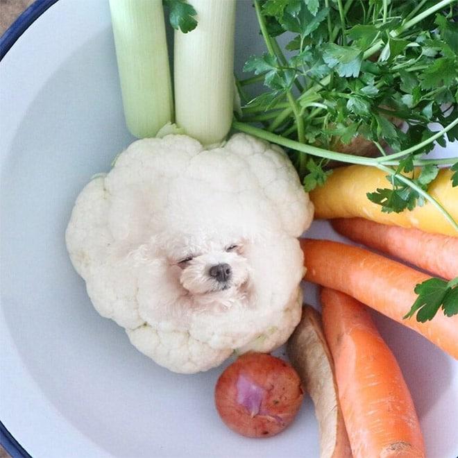 собака и цветная капуста