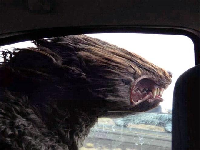 собака ловит ветер в окне автомобиля