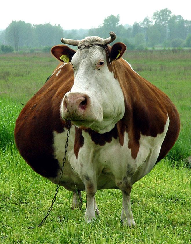 Толстая корова в поле