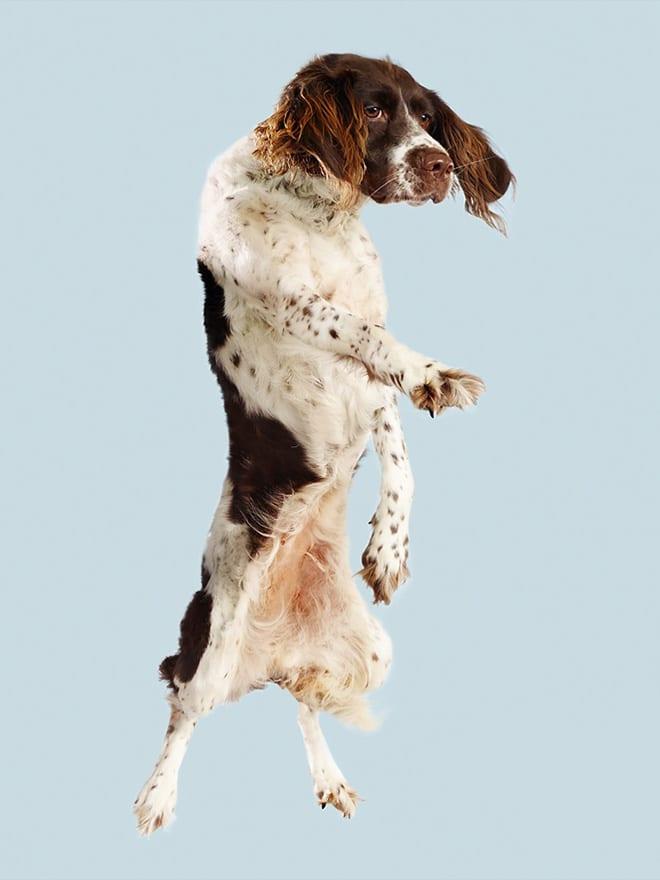 пятнистая собака в полете