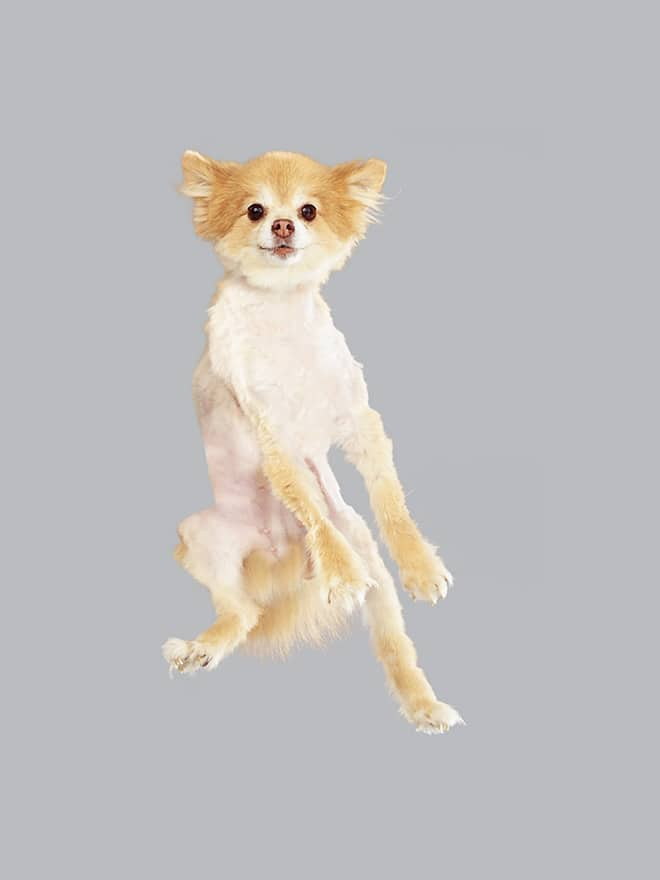 крошечный пес в полете