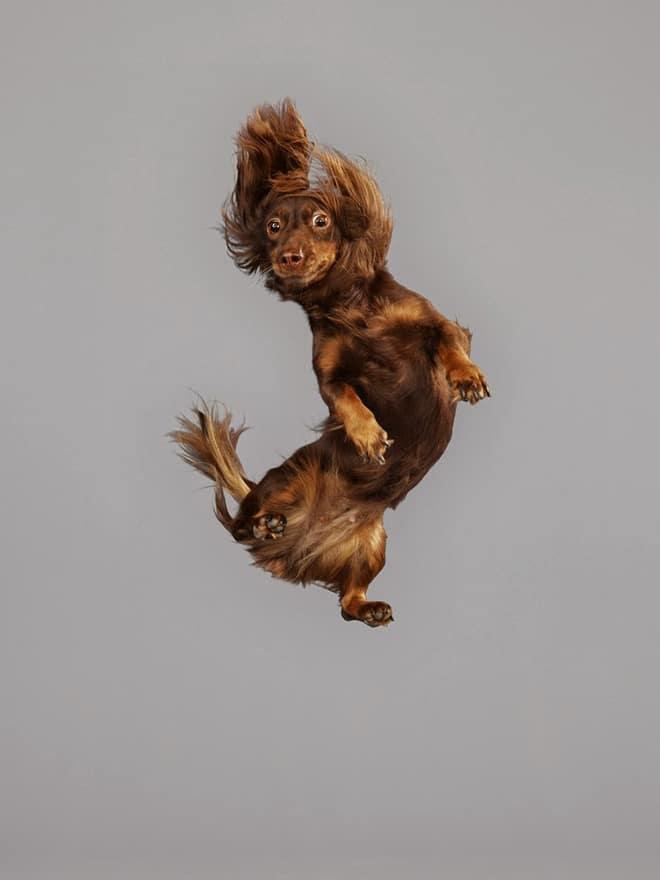 коричневая собака в полете