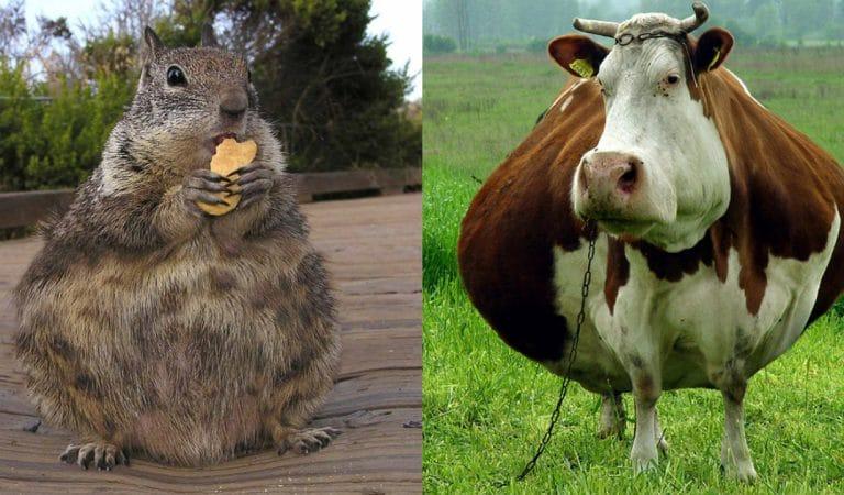Отфотошопили на славу: 10+ животных, которые так и не смогли похудеть к лету…)