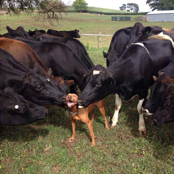 коровы облизывают собаку