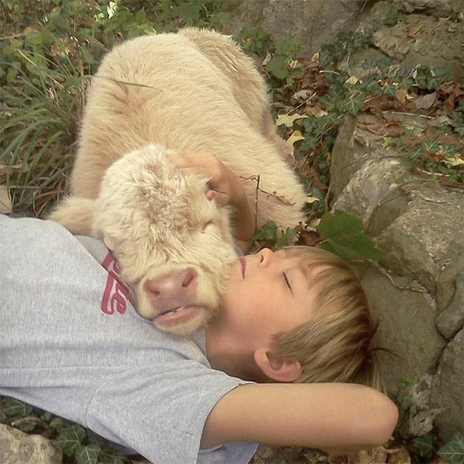 теленок спит на мальчике