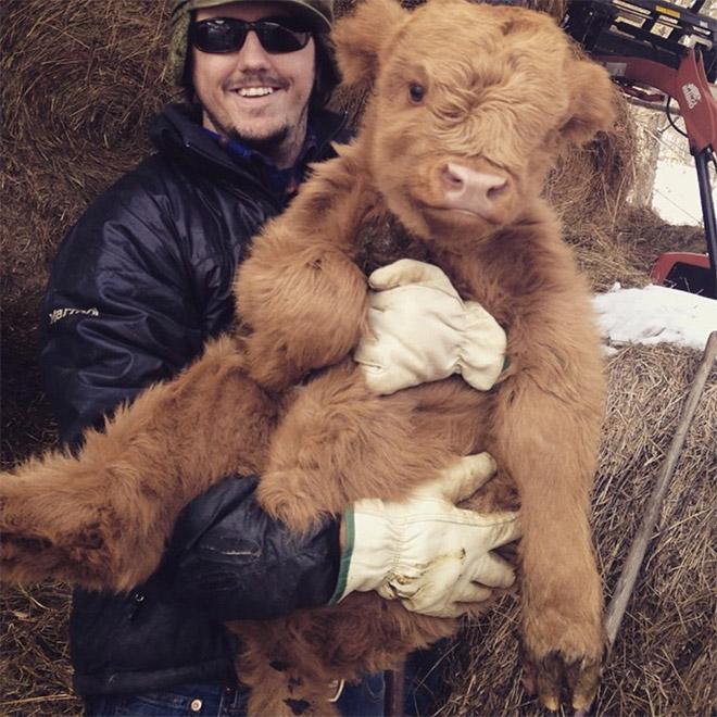 человек держит теленка