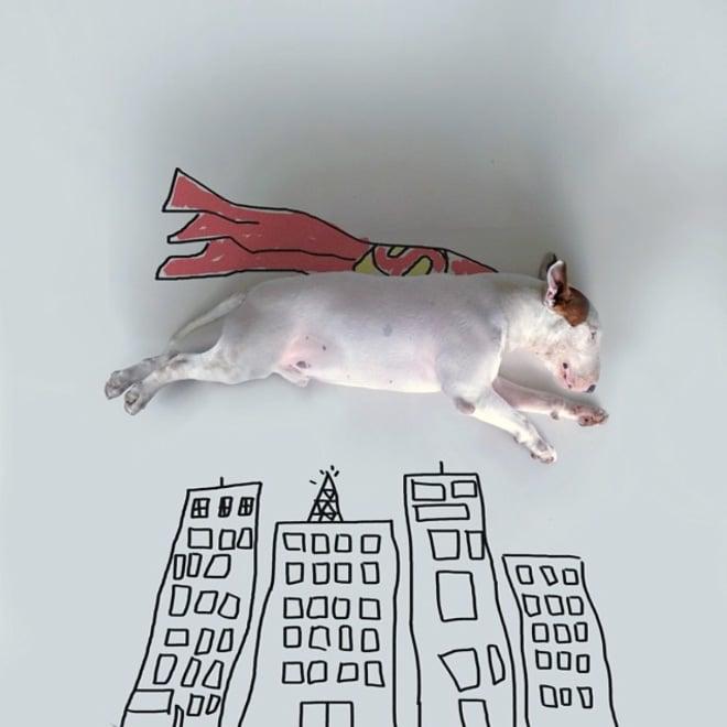питбуль супермен