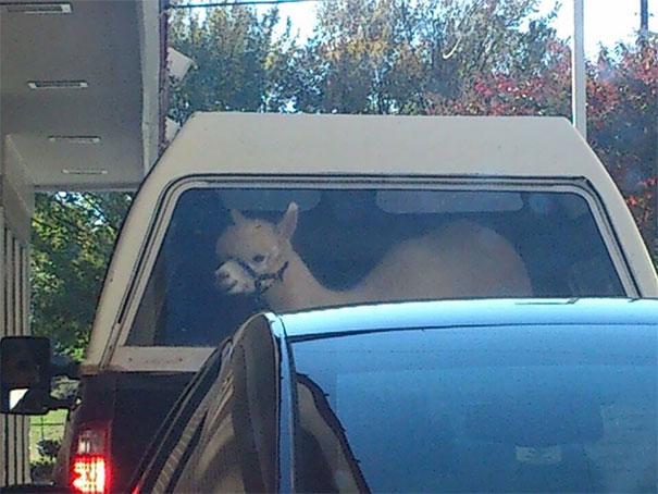 лама в машине