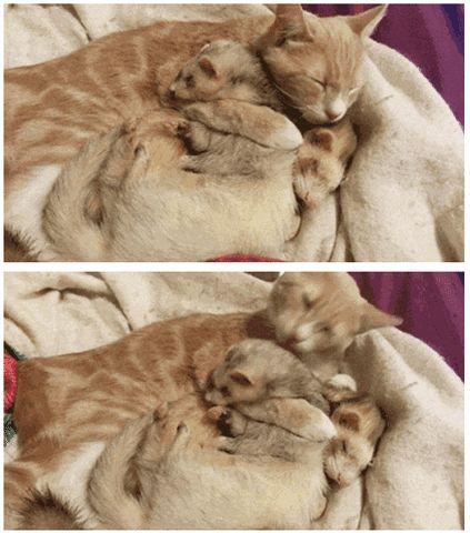 рыжая кошка с хорьками