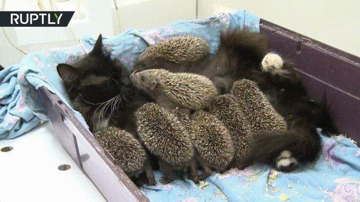 кошка с ежатами