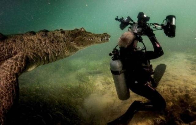 аквалангист и крокодил