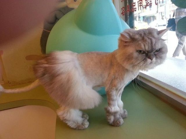 стрижка кота в форме юбки