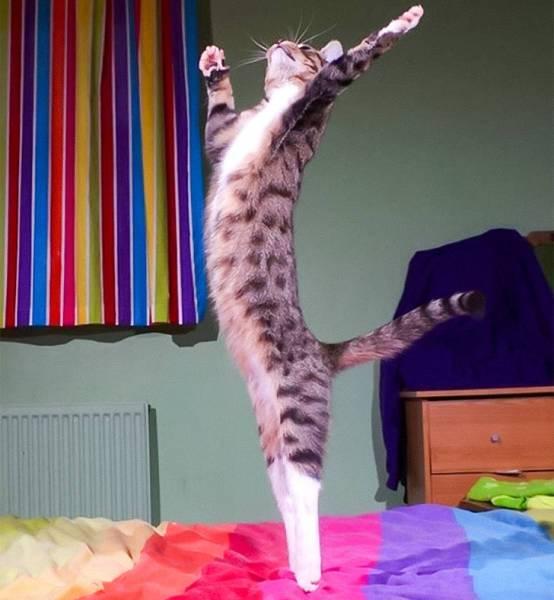 полосатый кот стоит на задних лапах