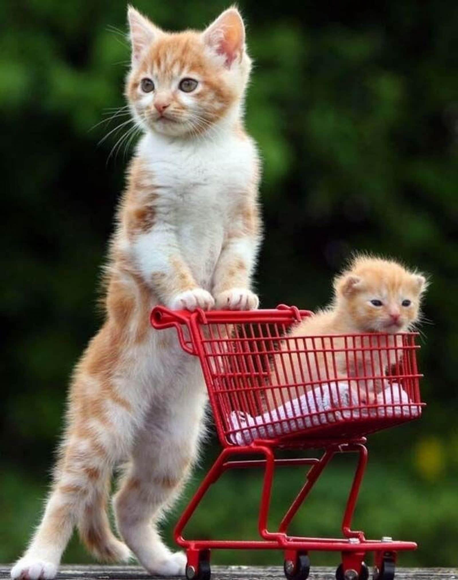 кошка везет котенка в тележке