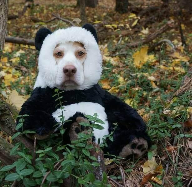 собака в костюме панды